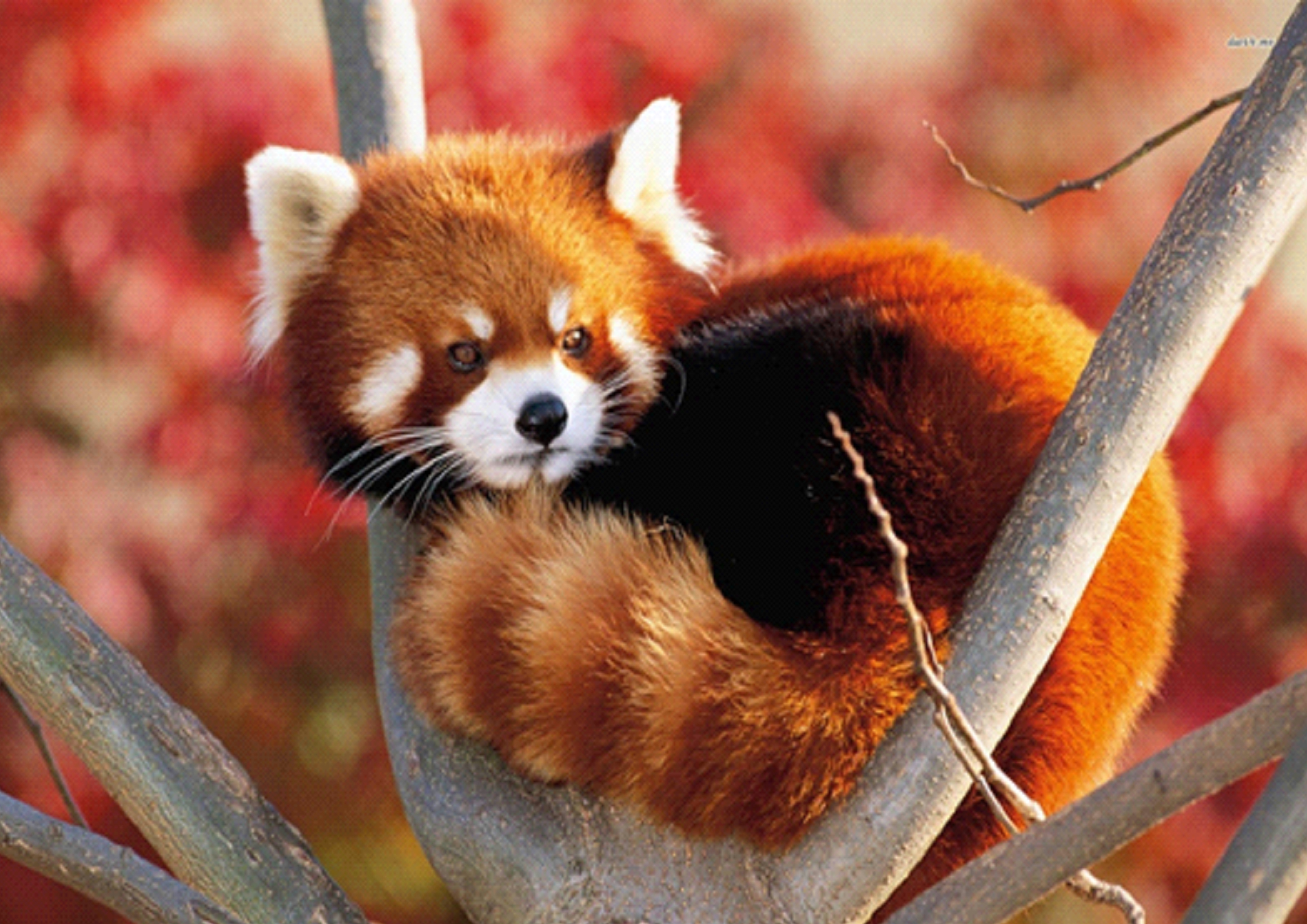 Image of: Wwf The Most Endangered Mammals That Are Found In 23 Hill And Mountain Districts Of The Country According To The Red Panda Network Panchthar Tourism Mailcom Conservationists Blame Nepal Government Of Turning Out In Red Pandas
